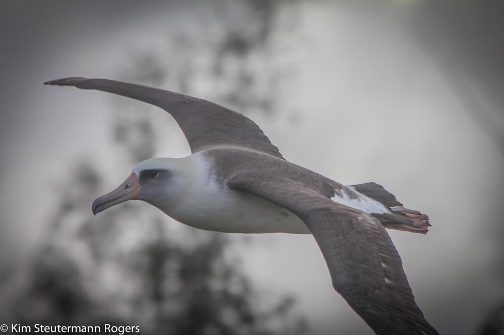 Soaring Laysan Albatross.