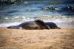 Hawaiian Monk Seal Pup, kalaupapa, molokai