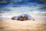 Hawaiian Monk Seal Pup, rt22