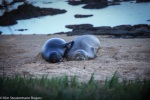 hawaiian monk seal, pup, RT22