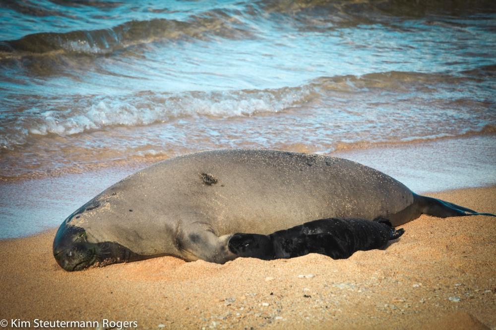 hawaiian monk seal k28 and pup