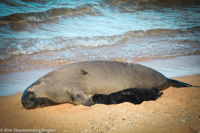 hawaiian monk seal k28 and pup