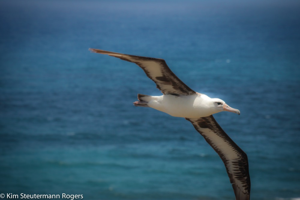 flying laysan albatross adult