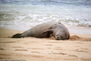 gps-tagged hawaiian monk seal