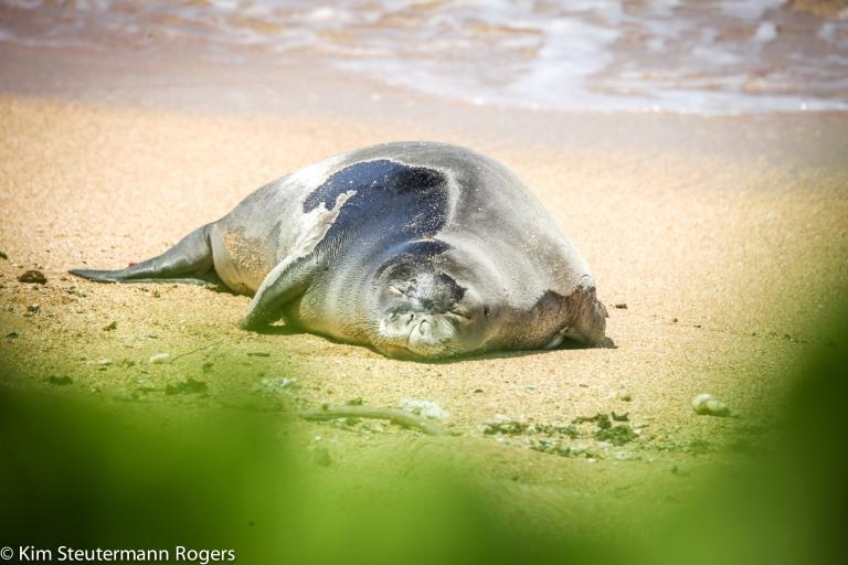 hawaiian monk seal weaner