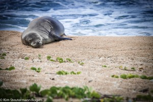 hawaiian monk seal weaner