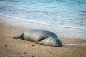 "This slumbering Hawaiian monk seal ""weaner"" is tagged F30."