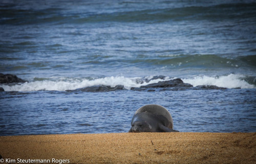 hawaiian monk seal, hurricane, ocean, beach