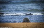 hawaiian monk seal, hurricane, ocean, beach