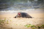 yawning hawaiian monk seal pup