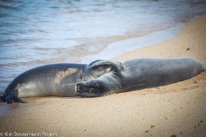 two sleeping hawaiian monk seals