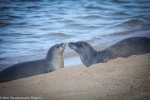 Two Hawaiian monk seals