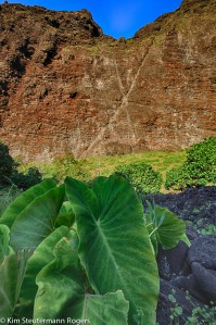 taro growing at nualolo kai, napali coast, kauai