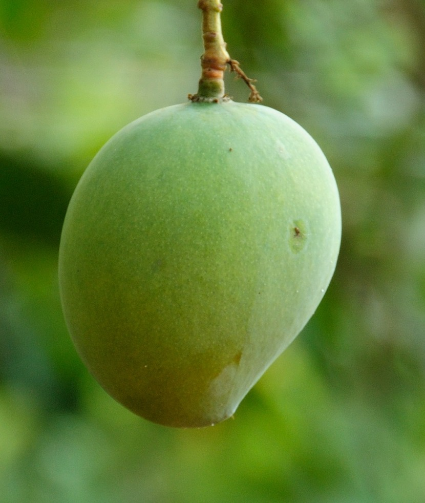 Honey: The Simple Solution to MangoRash