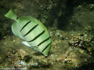 convict tang, manini, foraging