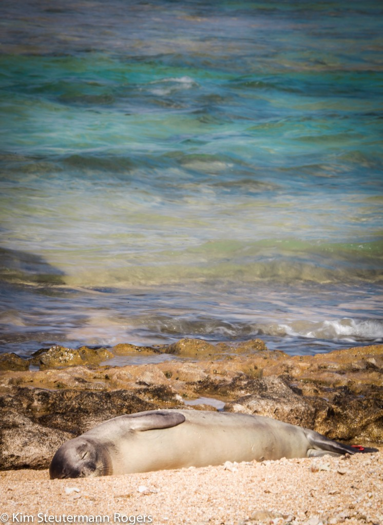 hawaiian monk seal, weaner, f30