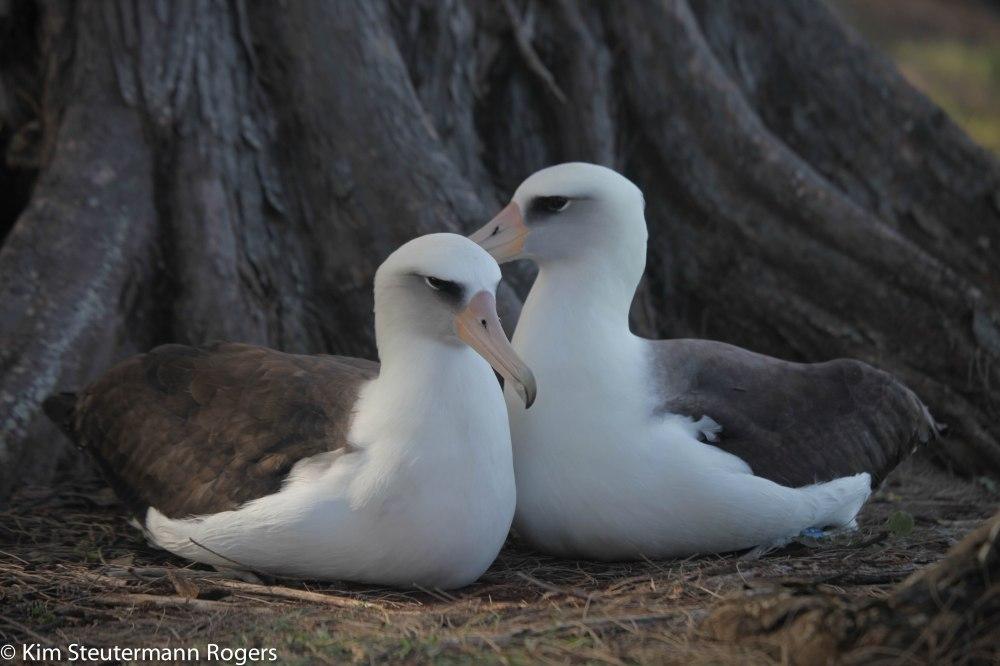 Laysan albatross pair. Kauai.