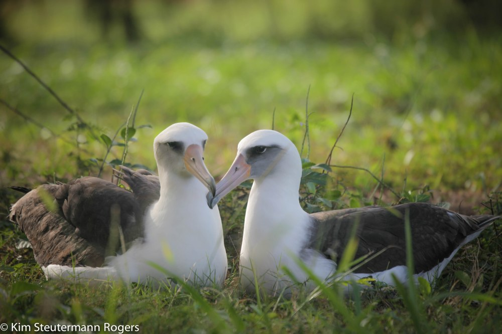 Laysan albatrosses Kauai