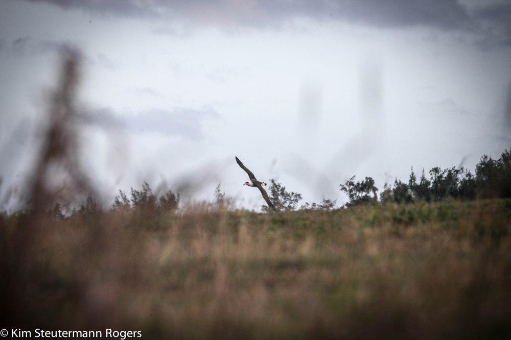wing-tipping Laysan albatross