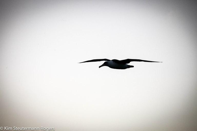 silhouette of soaring laysan albatross