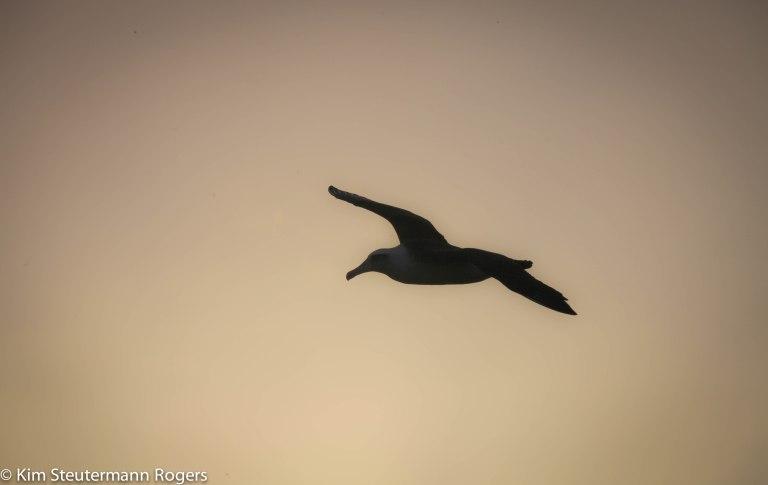 silhouetted soaring laysan albatross