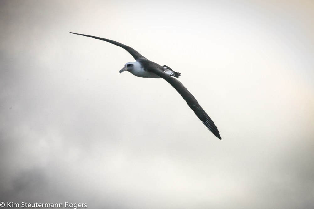 soaring laysan albatross