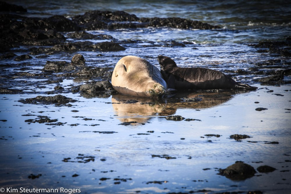 Hawaiian monk seal RF58 nursing