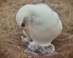 Laysan albatross chick hatches