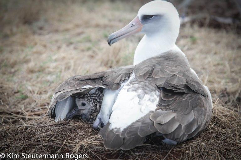 laysan albatross, chick, wing