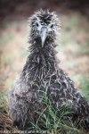laysan albatoss chick endures a rainstorm