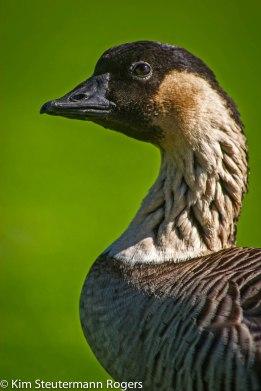 nene, hawaiian goose, endangered species