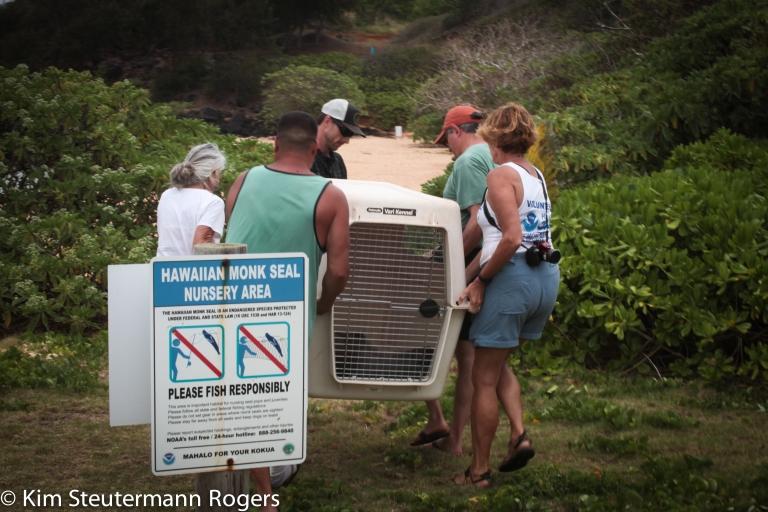 Hawaiian monk seal carried in transport kennel