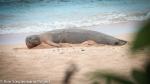 Pregnant Hawaiian monk seal