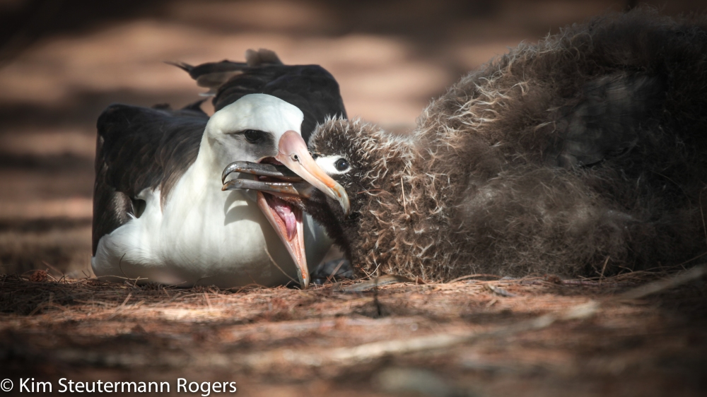 Laysan albatross adult feeding a chick