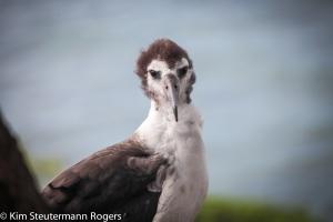 Laysan albatross chick on Kauai