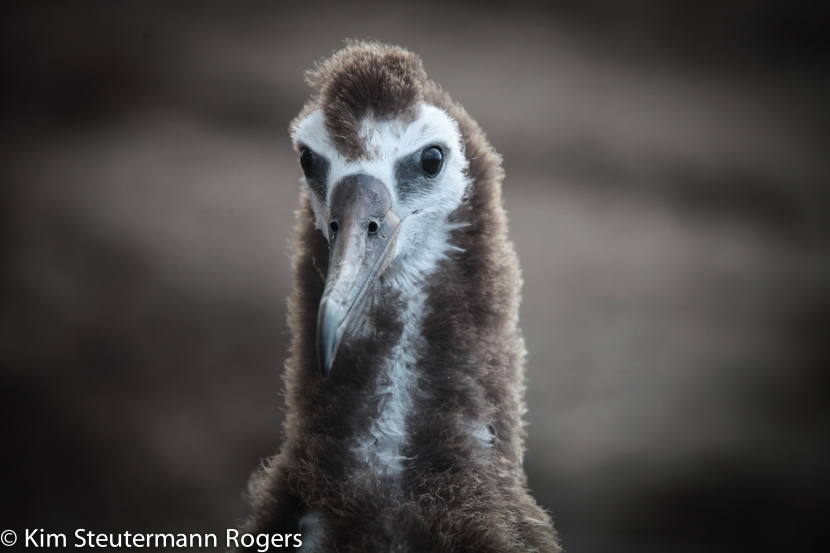 The Many Faces of Laysan Albatross Chicks