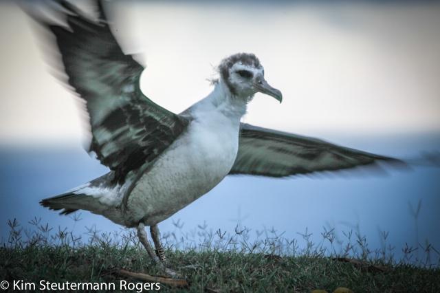 Laysan albatross chick Cornell web camera