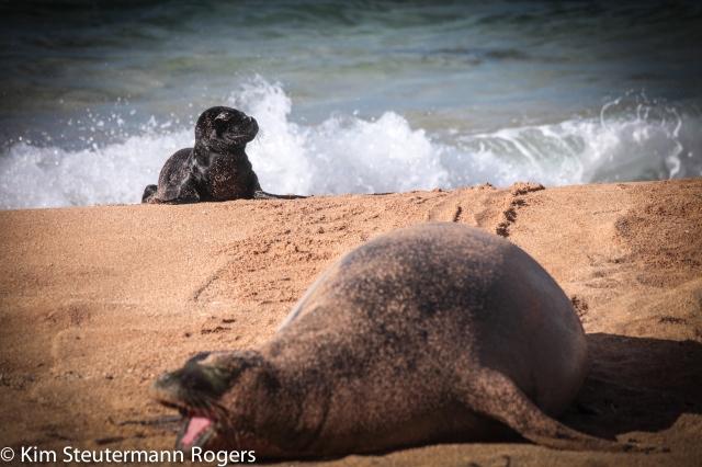 hawaiian monk seal, pup