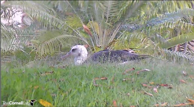 laysan albatross, cornell lab of ornithology, #albatrosscam