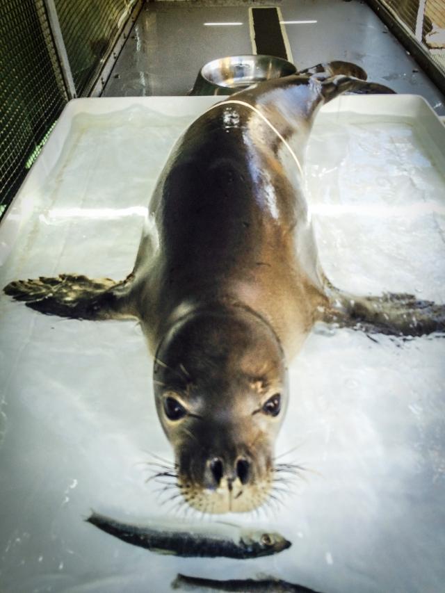 Hawaiian monk seal Ama`ama