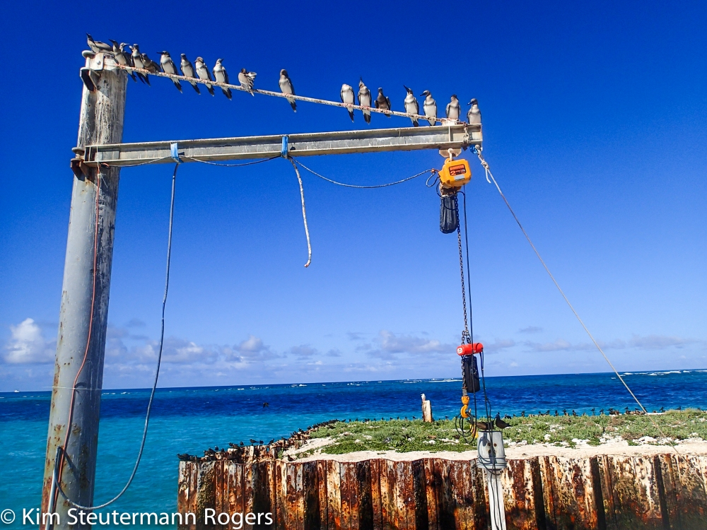 Juvenile Red-Footed Boobies Line Up on Boat Hoist at Tern Island