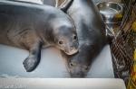hawaiian monk seal weaners pearl and hermes
