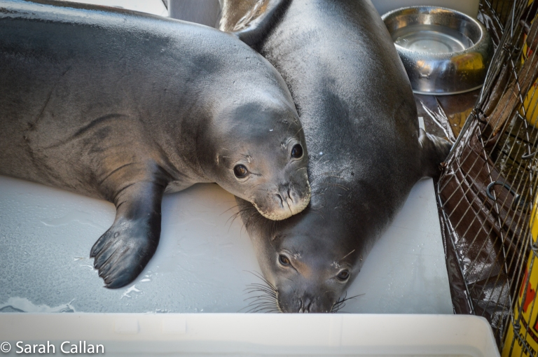 hawaiian monk seal weaners pearl and hermes