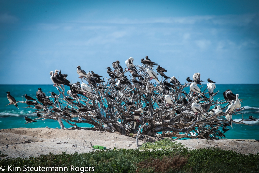 Roosting seabirds at French Frigate Shoals