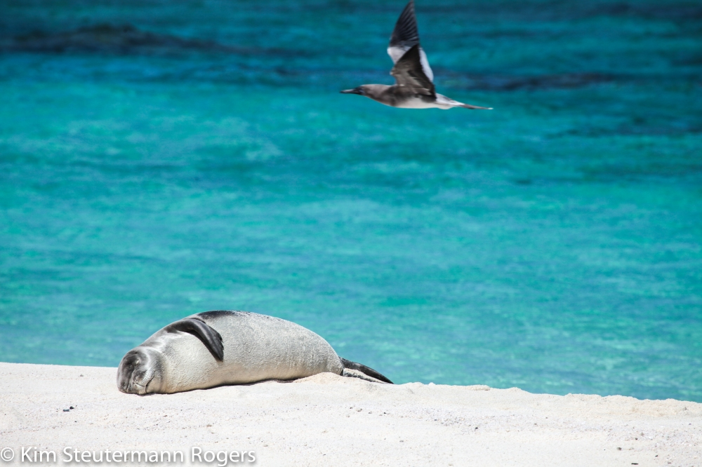 Hawaiian monk seal weaner at Tern Island.