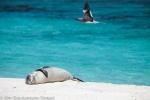 Hawaiian monk seal weaner at Tern Island.