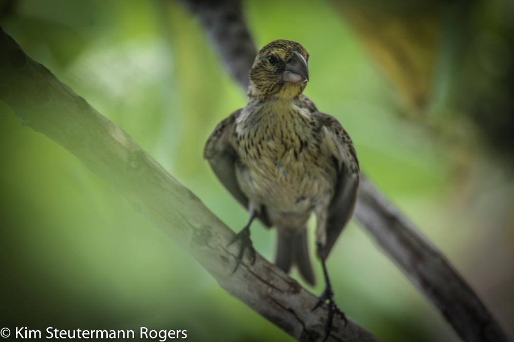 Laysan Finch Chick