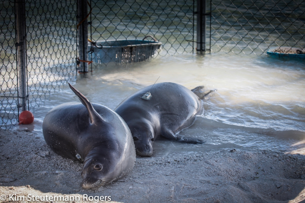 Hawaiian monk seals Pearl and Hermes