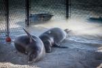 Hawaiian monk seals Pearl and Hermes