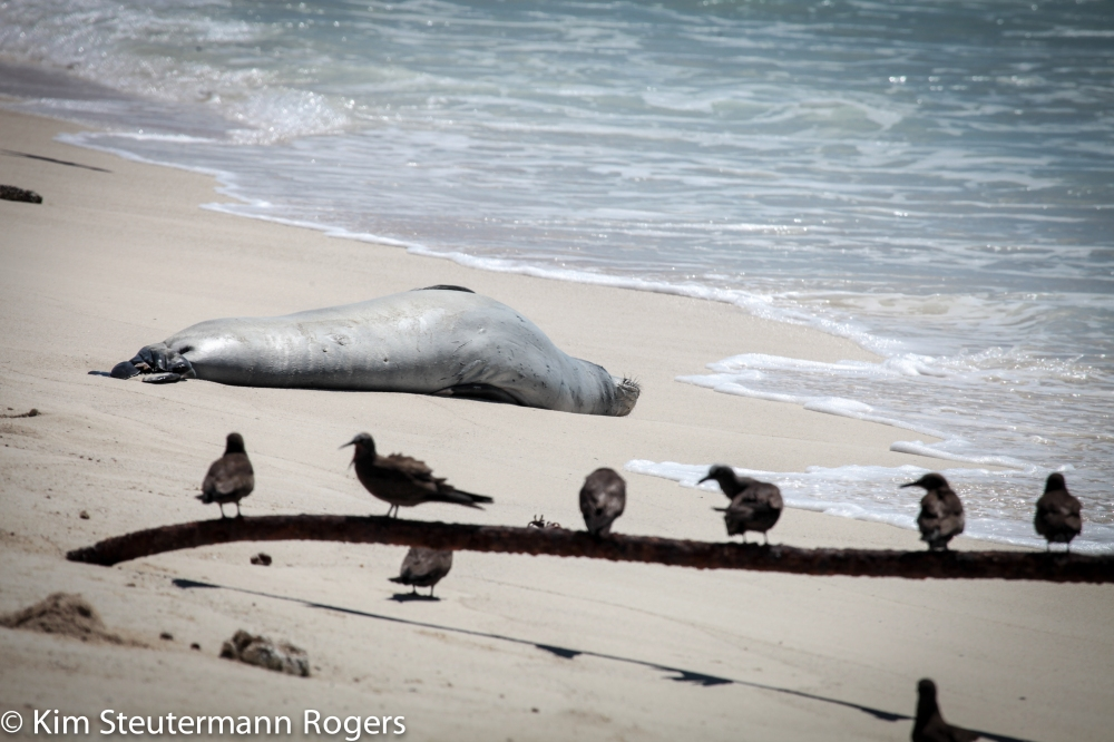 Sleeping Monk Seal and Birds on a Metal Bar